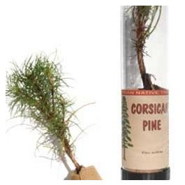 Corsican Pine Tree in a Tube