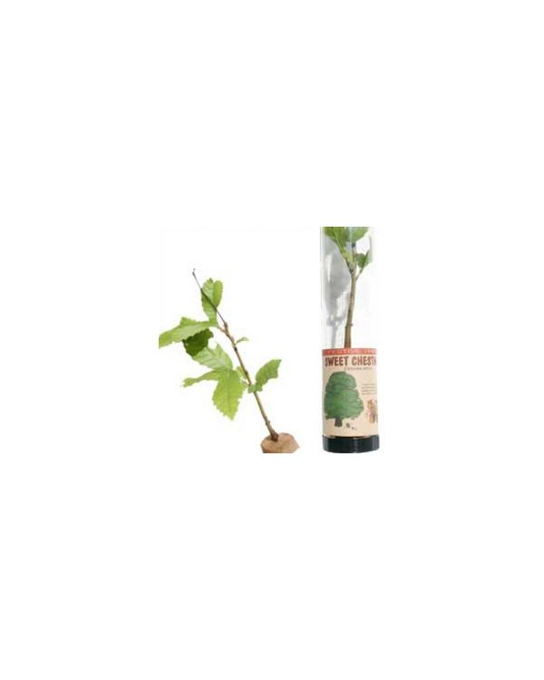 Sweet Chestnut Tree in a Tube