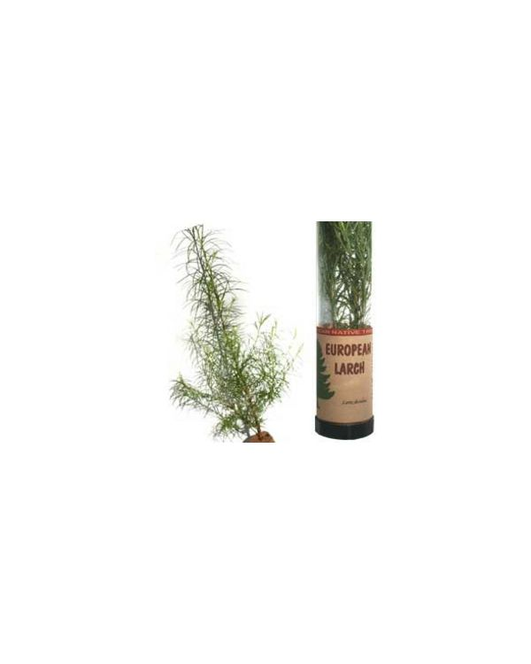 European Larch Tree in a Tube