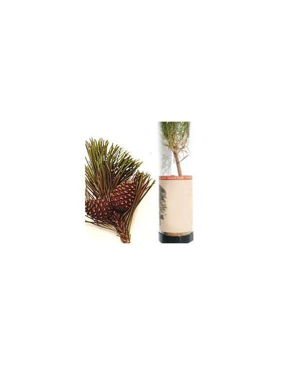 Lodgepole Pine Tree in a Tube