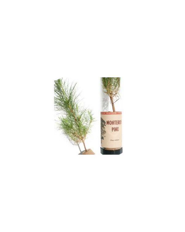 Monterey Pine Tree in a Tube