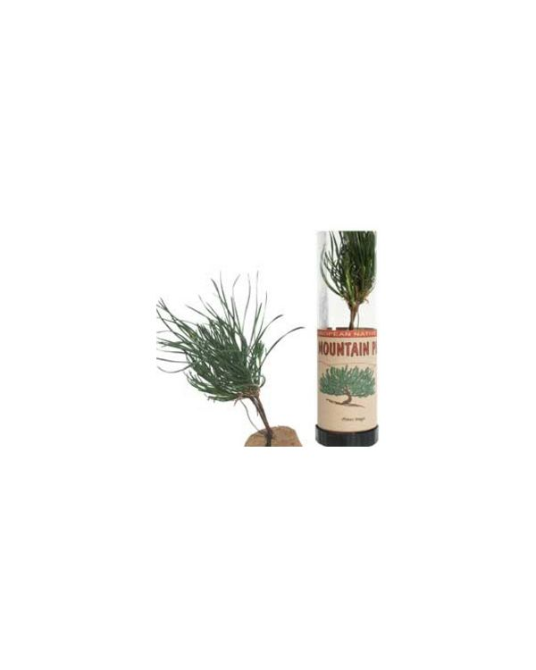 Mountain Pine Tree in a Tube