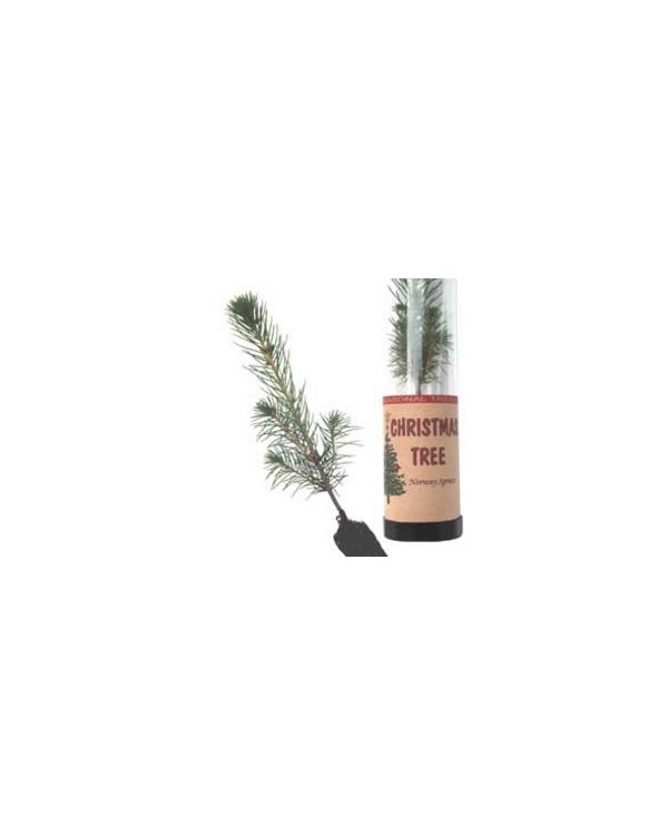 Norway Spruce Tree in a Tube