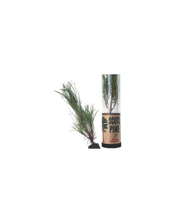 Scots Pine Tree in a Tube